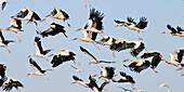 White Storks (Ciconia ciconia). Sotos del Ebro. Spain