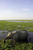 African Elephant ( Loxodonta africana). Amboseli National Park. Kenya