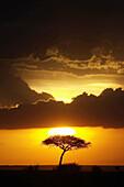 Acacia tree on Amboseli landscape at sunset