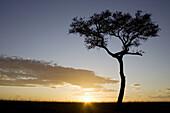 Acacia tree on the Masai plains at dusk