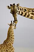 Masai Giraffe mother grooms newborn in the Masai Mara