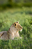 Young Lion looks alert in the Masai Mara