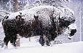 Snowy Bison: an American Bison (Bison bison) endures a snowstorm in Yellowstone National Park, Wyoming, USA