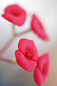 Botany, Close up, Close-up, Closeup, Color, Colour, Daytime, Delicate, Detail, Details, Exterior, Flower, Flowers, Four, Fragile, Fragility, Nature, Outdoor, Outdoors, Outside, Plant, Plants, Red, Soft focus, M44-552906, agefotostock