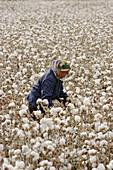 Worker in a cotton field. Sanshiliu. Xinjiang Uyghur Autonomous Region. China.