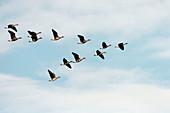 Greater white fronted goose (Anser albifrons), migration. Klamath Falls, Lower Klamath National Wildlife Refuge. Oregon. USA
