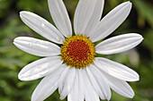 Chrysanthemum flower close up, England, UK
