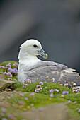Northern Fulmar (Fulmarus glacialis). Shetlands. UK