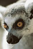 Animal, primates, monkey, Ring-tailed lemur (Lemur catta), portrait.