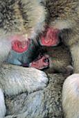 Wildlife, primate Japanese macaque. (Macaca fuscata). Jigokudani, Japan.