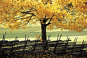 Autumn tree, yellow, colours, old fence. Torpa. Småland. Sweden.