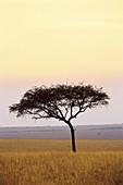 Acacia tree, savanna, evening light, colours, sky. Masai Mara national reserve, Kenya