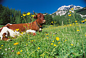 Healthy organic cow with cowbell in field with buttercups. Summer alpine meadow. Dachstein region. Austria