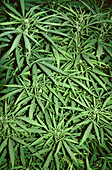 Wild Cannabis sativa (Hemp or Marijuana) is a weed growing in disturbed environments in the foothills of the Himalaya. Yunnan province. China