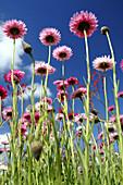 Spring wildflowers in field. Paper daisies (Rhodanthe chlorocephala), endemic to Western Australia.