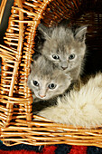 6 month old domestic cats