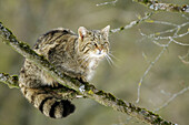 Wildcat (Felis silvestris), captive. Germany