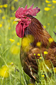 Domestic Fowl, rooster.