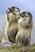 Marmots eating vegetables (Marmota marmota) Nationalpark Hohe Tauern, Austria
