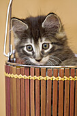 Norwegian Forest Cat, kitten, Germany.