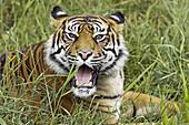 Sumatran Tiger (Panthera tigris sumatrae). Captive, adult mother. Germany