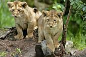 Panthera leo persica, Asiatic Lion, Cubs.