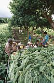 Tobacco plantation. San Andres. Veracruz. Mexico