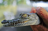 Adult, Adults, Animal, Animals, Close up, Close-up, Closeup, Color, Colour, Conservation, Crocodile, Crocodiles, Daytime, Exterior, Fauna, Head, Heads, Hold, Holding, Horizontal, Human, Male, Man, Men, Nature, One, One animal, One person, Outdoor, Outdoor