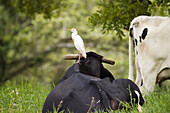 Heron and cattle. Veracruz, Mexico