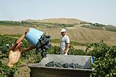 Grape collectors in a Sicilian vineyard, Grisì (Palermo). Sicily, Italy