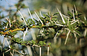 Acacia thorns (Acacia sp.). Serengeti National Park. Tanzania