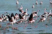 Lesser flamingos (Phoenicopterus minor) Ngorongoro crater and lake Magadi.