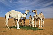 Camels (Camelus dromedarius) eating