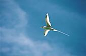 White-tailed tropic bird. Seychelles.
