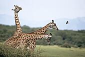 Giraffe. African fauna.