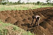 Agricultural culture. Atakora. Benin.