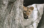 Lion. African fauna.