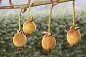 Brach of Kiwi tree (Actinidia chinensis) with fruits