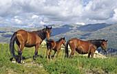 Garranos horses. Baixa Limia-Serra do Xurés Natural Park. Orense province, Galicia, Spain