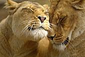 Lions South Australia.