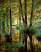 Scenery with alder trees in Spreewald, Burg-Kauper, Brandenburg, Germany