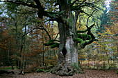Old tree in forest Reinhardswald, Hesse, Germany