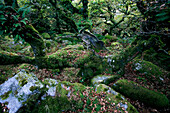 Europe, England, Devon, oak forest Wistman`s Wood in the Dartmoor near Two Bridges