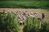 Flock, Castielfabib. Rincón de Ademuz, Valencia province, Comunidad Valenciana, Spain