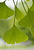 Background, Backgrounds, Botany, Branch, Branches, Close up, Close-up, Closeup, Color, Colour, Concept, Concepts, Daytime, Detail, Details, Exterior, Gingko, Ginkgo, Ginkgo biloba, Green, Hang, Hanging, Leaf, Leaves, Natural background, Natural background