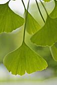 Aussen, Blatt, Blätter, Botanik, Detail, Details, Draussen, Farbe, Gingko, Ginkgo, Ginkgo biloba, Grün, Hängen, Hängend, Hängende, Hintergrund, Hintergründe, Konzept, Konzepte, Nahaufnahme, Nahaufnahmen, Natur, Pflanze, Pflanzen, Stamm, Stämme, Tageszeit,
