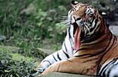 Chinese tiger (Panthera tigris) yawning. Summer. Zoo of Nuremberg. Germany.