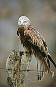 Red kite (Milvus milvus) sitting on a post. Nationalpark Kellerwald-Edersee. Hesse. Germany.