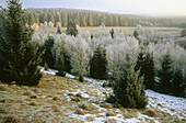Winter morning in the Bavarian Forest near Grafenau. Spruce and birchwood. Hoar frost. National Park Bavarian Forest. Germany.