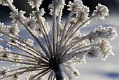 Umbel of caraway in hoar frost. Bavarian Forest, National Park Bayerischer Wald, Germany